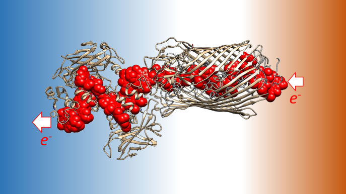 Image illustrating that Multiheme cytochromes position several heme factors in close proximity in order to allow electrons to move from one side of the protein to another. When these cytochromes span the bacterial outer membrane electrons move from the inside to the outside of the cell.
