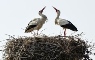 white stork birds in a nest