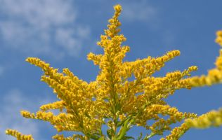 yellow golden rod against a blue sky